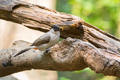 Sooty headed bulbul, song bird with black head, red vent perchin Royalty Free Stock Image
