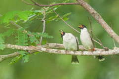 Sooty-headed Bulbul. Taken from Lorong Halus Wetland of Singapore Royalty Free Stock Photography