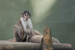 Sooty mangabey. The sooty mangabey sitting on the wooden desk stock image