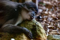 Sooty mangabey cercobecus torquatus monkey. Relaxing on a rock royalty free stock photo