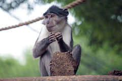 Sooty mangabey with a clod of earth Stock Photo