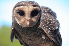 Sooty Owl close-up Royalty Free Stock Image