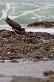 Sooty Oystercatcher. A Sooty Oystercatcher pries open a rock mussel with its specialized beak on the shore of Jeffreys Bay, South Africa Royalty Free Stock Photography