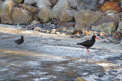 Sooty Oystercatcher bird with chick. The Black Sooty Oystercatcher bird with a chick in its environment: the rocky coastlines of Australia (at Jervis Bay&# Stock Photo