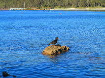 Sooty Oystercatcher bird on rock in water. An all-black shorebird, the Black Sooty Oystercatcher, in its environment: the rocky coastlines of Australia (at Royalty Free Stock Photography