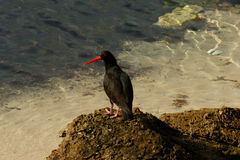Sooty Oystercatcher. (Haematopus fuliginosos) in tidal water of bay in southern South Australia Stock Photography