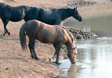 Sooty Palomino stallion drinking at waterhole with herd in the Pryor Mountains Wild Horse Range in Montana USA Stock Photo