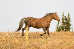 Sooty Palomino stallion wild horse running on a ridge in the Pryor Mountains Wild Horse Range in Montana USA. Sooty Palomino stallion wild horse running on a Stock Photos