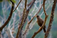 Sooty Robin. Royalty Free Stock Image