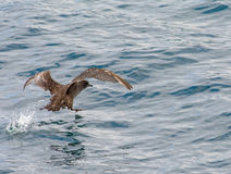 Sooty Shearwater water walking Royalty Free Stock Photos