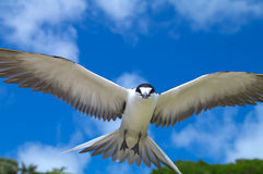 Sooty Tern. (Sterna fuscata) on Lord Howe Island Stock Photo