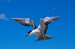 Sooty Tern. (Sterna fuscata) at colony at North Bay on Lord Howe Island, Australia Stock Image