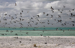 The Sooty Tern Birds. In Motu Tabu Islet. Christmas Island, Kiribati Royalty Free Stock Photos