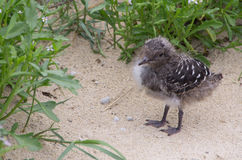 Sooty Tern Chick, Lord Howe Island. A sooty tern chick at Blinky Beach on Lord Howe Island off the coast of New South Wales, Australia Stock Image