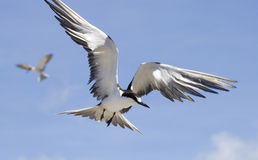 Sooty Tern in flight Stock Image