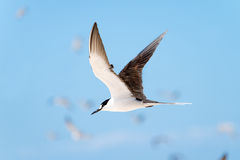 Sooty Tern in Flight. Great Barrier Reef, Queensland, Australia royalty free stock photography