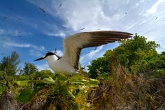 Sooty tern nesting. A sooty tern hatching on Bird Island in the Seychelles stock photo