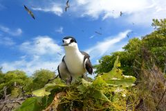 Sooty tern nesting. A sooty tern hatching on Bird Island in the Seychelles stock image