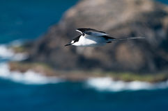 Sooty Tern (Sterna fuscata) on Lord Howe Island. Side view of a black-and-white Sooty Tern (Sterna fuscata) flying past a rocky offshore islet on Lord Howe Royalty Free Stock Photos