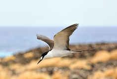 Sooty Tern. Taken over the rocks on Ascension Island in the South Atlantic royalty free stock images