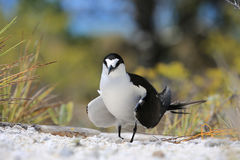 Sooty tern (Sterna fuscata) bird Royalty Free Stock Photography