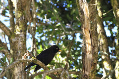 The Sooty Thrush. Royalty Free Stock Photography