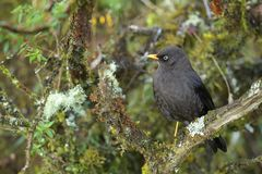 Sooty Thrush - Turdus nigrescens. Black perching bird from New World gardens and forests, Costa Rica Stock Photography