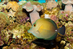 Sopas Tang. Yellow in Aquarium against Coral Reef Background Royalty Free Stock Photos