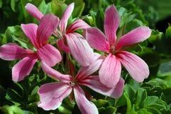 sophie pelargonium Zdjęcie Royalty Free