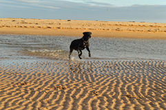 Sophie playing in the water. Sophie the labrador playing in the water on Beadnell Beach, Northumberland UK Stock Images
