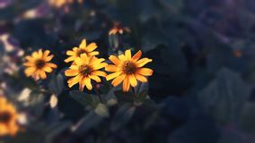 Yellow Blossoms. Yellow blooms standing side by side royalty free stock image