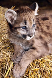 Sophisti-cat. A cougar cub poses for the camera Royalty Free Stock Image