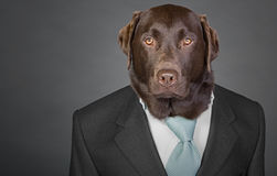 Sophisticated Chocolate Labrador in Suit and Tie Stock Images