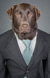 Sophisticated Chocolate Labrador in Suit and Tie Stock Photography