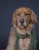Sophisticated Dog. A Golden Retriever is ready to go to a party wearing a green scarf Stock Photography