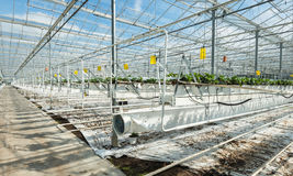 Sophisticated and large-scale strawberry cultivation on substrate. Large Dutch greenhouse with hanging young strawberry plants in hydroponic cultivation Stock Image