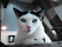 Sophisticated Turquoise Eyed Cat. Posing for the Portrait Stock Photo