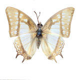 Sophomore Polyura butterflies. Eastphoto, tukuchina, Sophomore Polyura butterflies Stock Photo