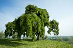 Sophora. A big Sophora tree in summer stock photos