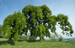 Sophora. A big Sophora tree in summer royalty free stock photos