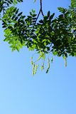 Sophora branch. On a blue background royalty free stock photography
