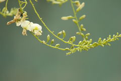 Sophora flower and bud lengthen to the sky stock photos