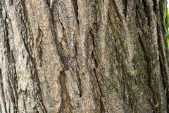 Sophora japonica drzewo Barkentyna drzewo Drzewny bagażnik akacja zdjęcie stock