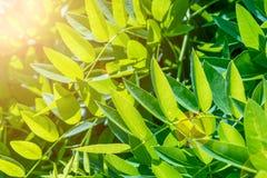 Sophora japonica drzewo gałąź zieleń opuszczać saplings drzewny akacja zamazujący tło fotografia stock