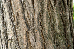Sophora japonica tree. Bark of tree. Tree trunk. Acacia. Stock Photo