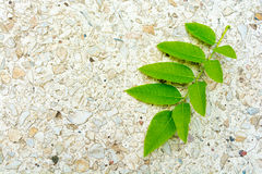 Sophora japonica tree leaf on the ground. Acacia Royalty Free Stock Photo