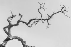 Sophora japonica tree without leaves. Beautiful Autumn black and white photo stock image