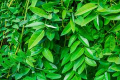 Sophora japonica tree. tree leaves. Acacia. Background. Of green leaves stock photo