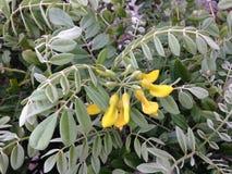 Sophora Tomentosa (Necklacepod) Plant Blossoming. Sophora Tomentosa (Necklacepod) Plant Blossoming in Daytona, Florida stock image