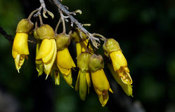 Sophora. (Kowhai) NZ Royalty Free Stock Photo